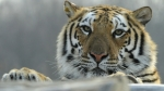 Tigres, China, Especies en peligro de extincin, Fauna, Animales