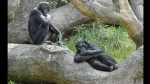 Animales, Simios, Bonobos