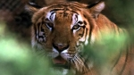 Tigres, Peligro de extincin, Animales
