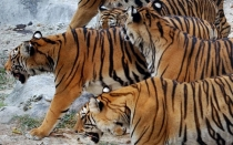 Tailandia, Tigres, Trfico de animales, Animales