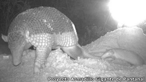Brasil: fotografían por primera vez una cría de armadillo gigante