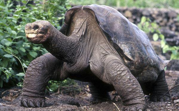 Tortugas prehistóricas de la Amazonía serían ancestros de las de Galápagos