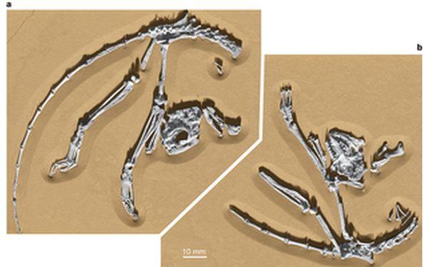 Hallan el fósil del esqueleto del primate más antiguo
