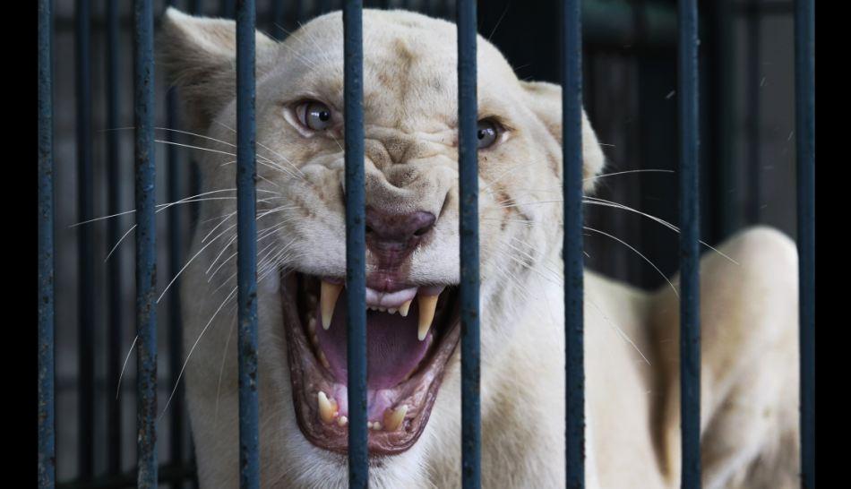 Leones rescatados en Bangkok