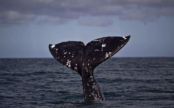 ¿Cómo aguantan las ballenas y focas tanto tiempo bajo el agua?